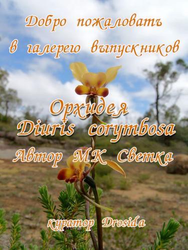 Галерея выпускников Орхидея Diuris corymbosa 69056322faf49b73f6a7c6494bb82d0e